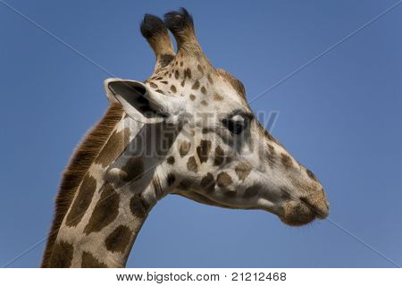 Profile Of An African Rothschild Giraffe
