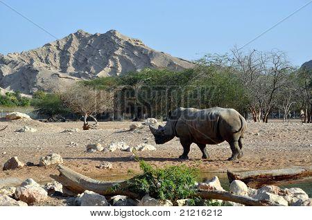 Rhinoceros in the desert at Al Ain Zoo