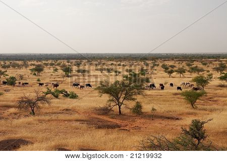 Cows in African savanna