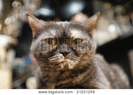 Close-up portrait of pedigreed cat (British Shorthair)