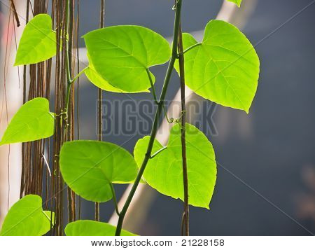 Betel Leaf, Heart Shape Leaf