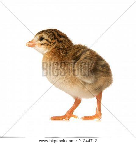 Newbown Guinea Fowl Keet
