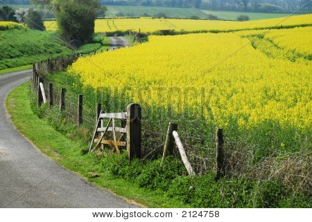 Country Road And Yellow Rape Field In Spring