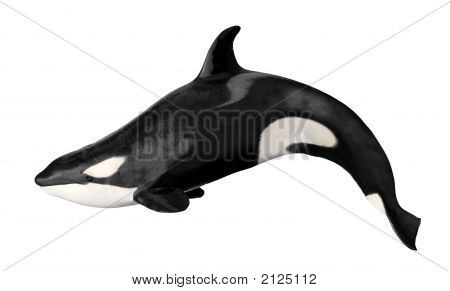 Isolated Killer Whale