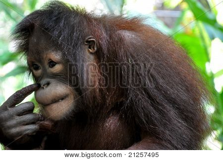 Orang Utan is thinking