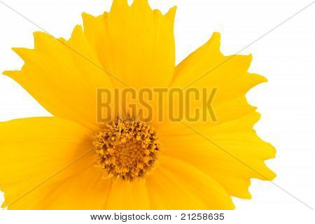 Coreopsis Flowers - Latin Coreopsis Ferulifolia, Isolated On A White Background