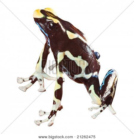 poisonous frog with bright colors beautiful amphibian of amazon rain forest pet animal dendrobates tinctorius isolated