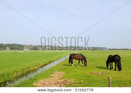Landscape with horses on the Dutch island Ameland