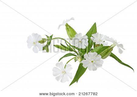 Silene Latifolia Wildflower