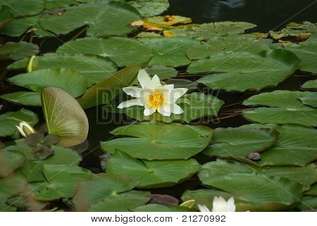 Water lily in lake