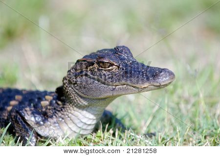 Baby Alligator In The Grass