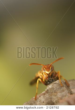 Angry Paper Wasp Green Background