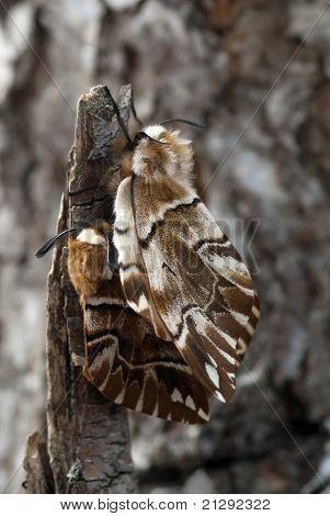 The Silkworm Moths