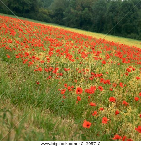 Field Full Of Blooming Poppies