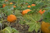picture of jack-o-laterns-jack-o-latern  - Ripe orange pumpkins on the vine wait to be harvested - JPG
