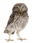 Young owl standing in front of white background poster