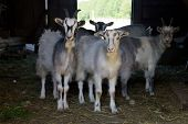 Domestic Goats poster