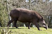 stock photo of tapir  - Tapir from south Africa found in Brazil - JPG