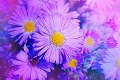 Beautiful Pink Aster Flower. Autumn Flowers In The Garden poster