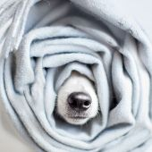 Dog wrapped in a scarf. Pet warms under a blanket in cold winter weather poster