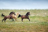 foto of hackney  - Three free horses running together in the steppe - JPG