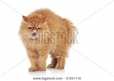 Scared Ginger Persian Cat