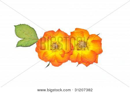 Press Rose Flower And Leaf