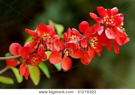 Japanese Quince branch