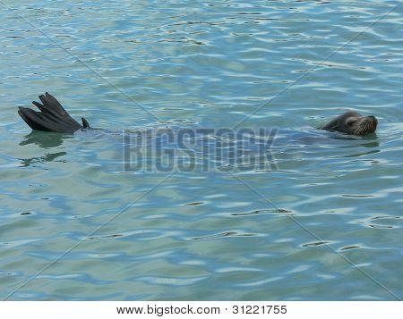 Long Sea Lion