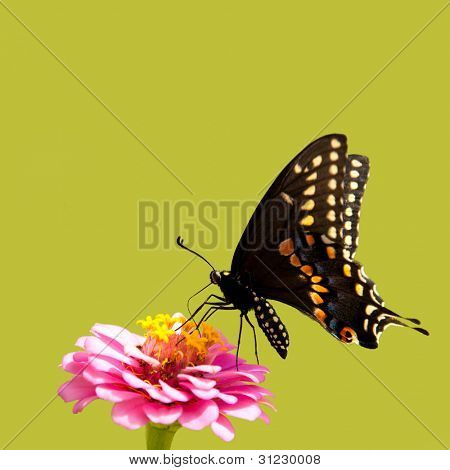 Eastern Black Swallowtail butterfly on a pink Zinnia against summer green background