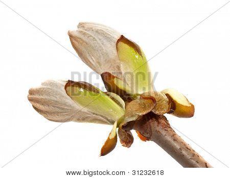 Chestnut bud closeup on white background