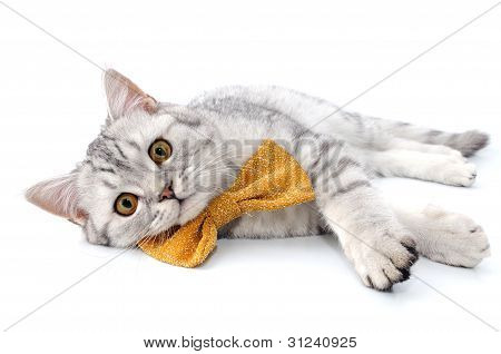 Silver Tabby Scottish Cat With Golden Bow Tie