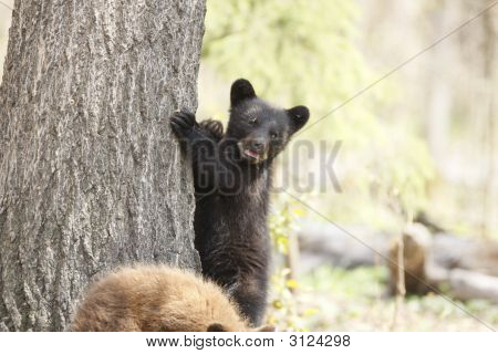 Standing Black Bear Cub