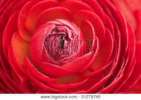 Closeup Of Red Ranunculus