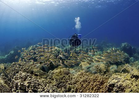 Diver And A School Of Goatfish