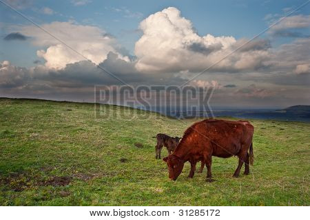 Cow And Calf In Countryside Landscape With Beautiful Clouds Formations