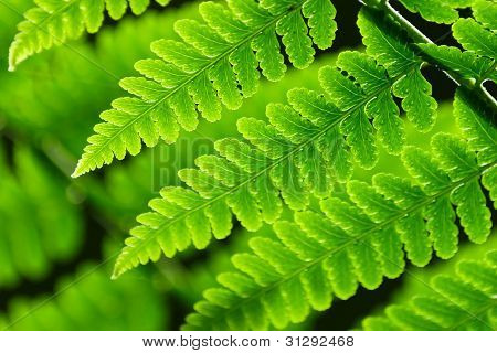 Fresh Spring Green Fern Leaves