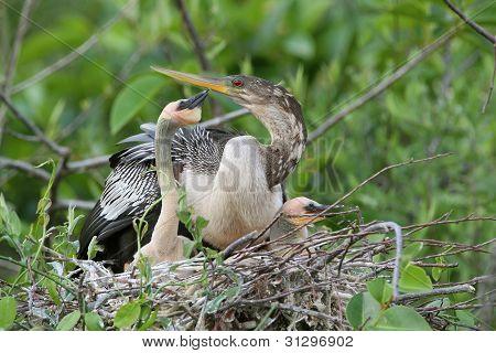 American Anhinga Nest - Everglades National Park, Florida