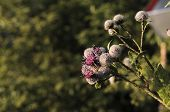 Burdock Thorny Purple Flower, Green Buds And Leaves In Herbal Garden. Blooming Medicinal Plant Burdo poster