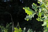 Varicolored Oak Leaves. Oak Branch With Green Oak Leaf, Selective Focus. Colorful Oak Leaves In Beau poster