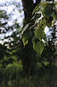 Varicolored Linden Leaves. Linden Branch With Green Linden Leaf, Selective Focus. Colorful Linden Le poster