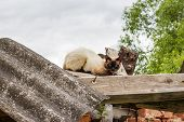 Scared Siamese Cat Sitting On The Roof poster