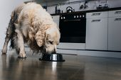 Adorable Golden Retriever Dog Eating Pet Food From Metal Bowl At Home poster