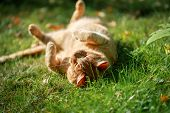 Red Cat Lies In The Meadow. Upside Down Ginger Cat Sleeping In Green Grass. Summer Time Concept. poster