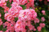Roses Background In Summertime. Bulgarian Aroma Rose Valley. Rose Damascena Fields. poster