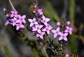 Pink Flowers And Buds Of Australian Native Boronia Ledifolia, Growing In Heath On The Little Marley  poster