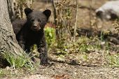 picture of bear cub  - A black bear cub explores the woods - JPG