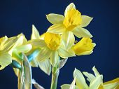 stock photo of jonquils  - A Beautyful Daffodil In Sunshine - JPG