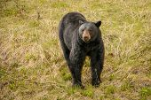 Black Bear In Kootney National Park Curiously Looking Around poster