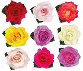 Collection Roses On White Background. Icon Rose. Roses Red, Beige, Purple, Pink, White, Coral, Yello poster